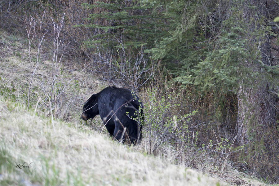 ... rewarded with finding a mature black bear grazing along the roadside.